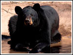 Black Bear at the Great Bend-Brit Spaugh Zoo Awaits Cleaning of a Pond Drain Line